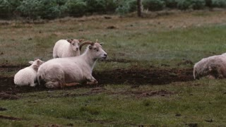 Sheep lying on the field in dirt. Two white lambs standing close to mother. Animals grazing on the meadow.
