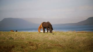 Two beautiful Icelandic horse eating graze, grazing on the field. Farm or ranch outside the city with wild animals.