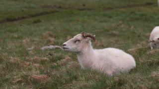 White sheep lying on the green field. Farm animal grazing on the meadow, resting on the grass.