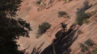 Big Horn Sheep in Zion National Park (2 of 2)