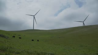 Cattle graze in a Californian wind farm