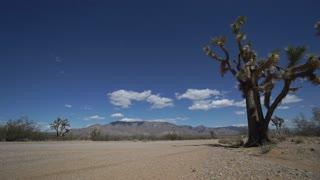 Dolly Shot of Roadside Joshua Tree in the Desert
