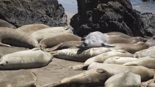 Elephant seals climb over each other near San Simeon California