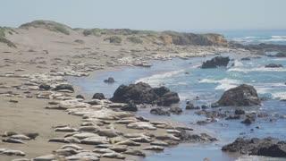 Pan down of large colony of Elephant seals near San Simeon California