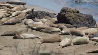 View of enormous colony of Elephant seals near San Simeon California
