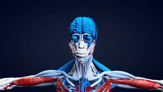 3D Anatomical Human Model Zoom in On Head