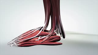 3D Anatomical Model of Human Muscular System Side View Moving From Feet Up