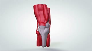 3D Animated Model Rotating Human Knee