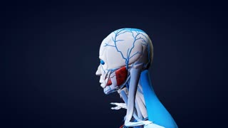 3D Human Anatomical Model Rotating Shoulders Up