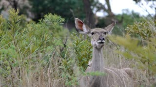 A female kudu chews cud towards camera in Kruger National Park South Africa