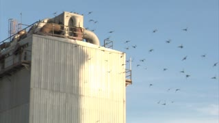 A Flock Of Birds Fly Over Wires, Alight On Factory