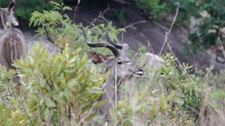 A kudu bull chews cud in Kruger National Park South Africa