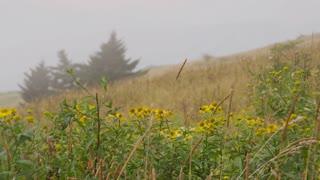 Foggy summer field wild daisies