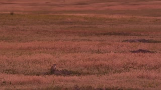 Prairie Dogs in Badlands National Park at Sunset