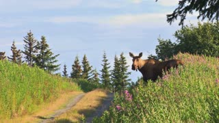 Adult Moose and Calf Crossing Country Road