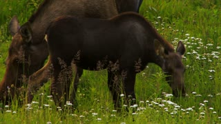 Adult Moose and Calf Grazing in Field