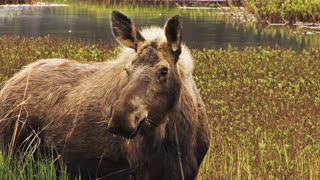 Adult Moose Eating in Marshland