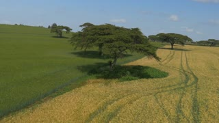 AERIAL: Acacia trees on a big wheat field in Africa