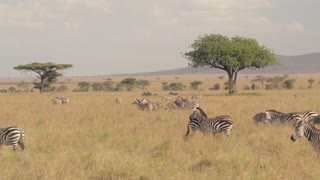 AERIAL: Big zebra family spread across African savannah field grazing on meadow