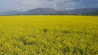AERIAL: Brassica rapa field