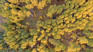 Aerial drone flight over vibrant golden fall foliage Aspen trees in autumn 2