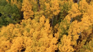 Aerial drone flight over vibrant golden fall foliage Aspen trees in autumn