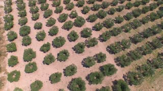 AERIAL: Flying above big olive tree field in sunny summer