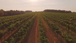 AERIAL: Flying above big vineyard field at beautiful summer sunset