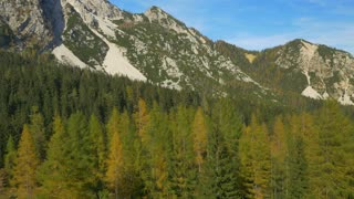 AERIAL: Flying around yellow larch tree in the mountains