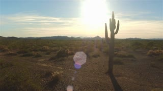 AERIAL: Flying pass big beautiful cactuses in desert at sunset