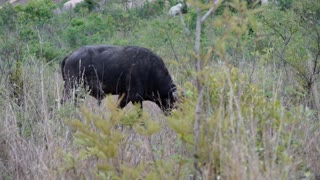 African buffalo eating grass in Kruger National Park South Africa