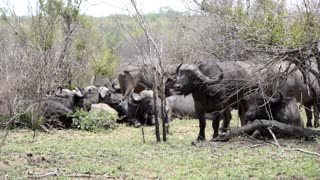 African buffalo stands up from the groep in Kruger National Park South Africa