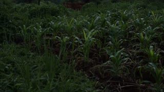 African Cornfield At Sunset