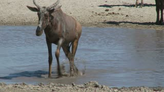 African Hartebeest Coming Out Of Water
