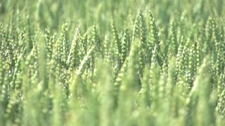 agriculture ecology wheat cornfield farming