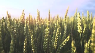 agriculture wheat cornfield sun flare slow motion