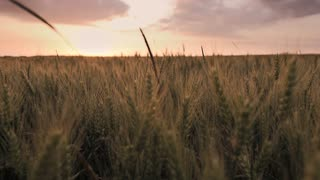 agriculture wheat cornfield sunset