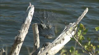 Alligator Swimming in Water Near the Offload Barge