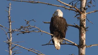 American Bald Eagle Perched on Dead Spruce Tree Branch