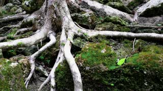 Ancient trees with long and thick roots