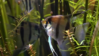 Angelfish - Pterophyllum scalare.