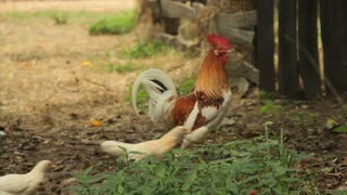 Antique Breed Chickens
