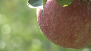 Apple Tree Zoom Out 2