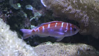Aquarium fish orange and white