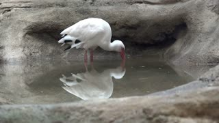 Aquarium Ibis reflected