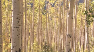 Aspen Forest in Autumn