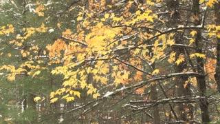 Autumn Leaves Slight Snow