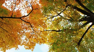 Autumn Trees View from Below