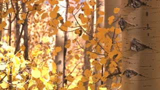 Autumn's Yellow Leaves