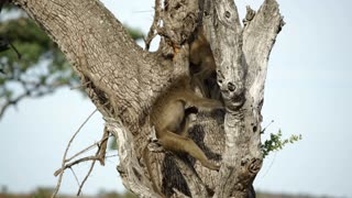 Baboon monkeys in a tree in Kruger National Park South Africa